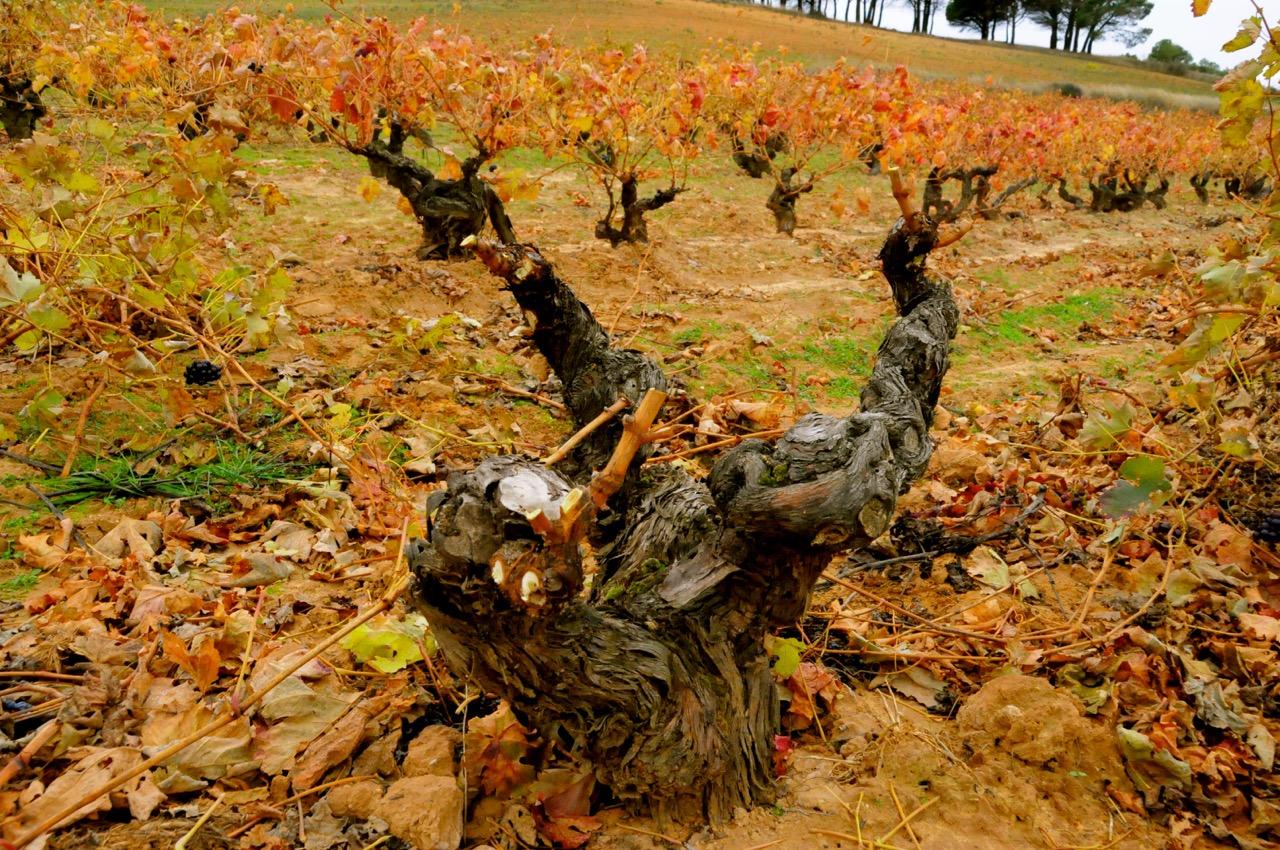 Old gnarly wines of Pagos de Matanegra in Ribera del Duero